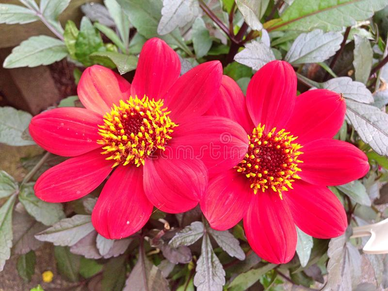 Un fiore rosso e giallo adorabile di Dahlia Roxy fotografia stock