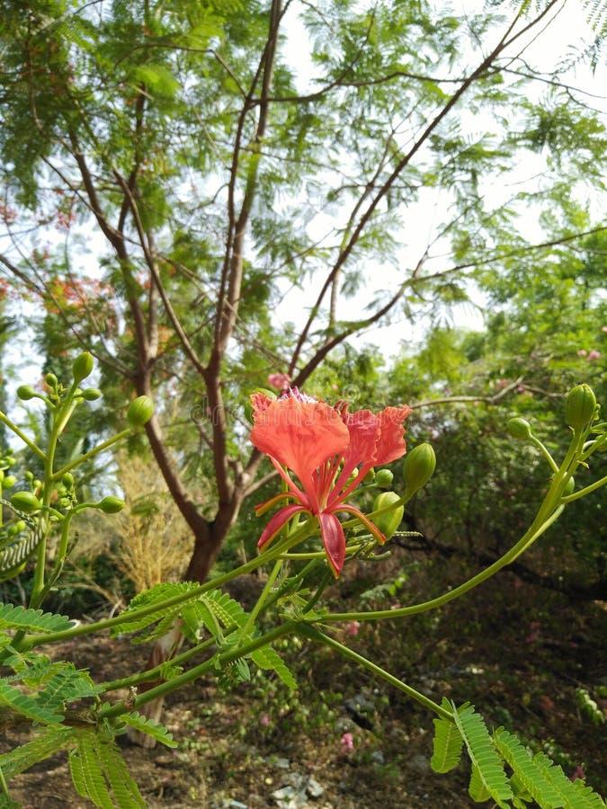 Un fiore rosso sull'angolo sul ramo, sui germogli verdi e sulle foglie, immagine di sfondo fotografia stock libera da diritti