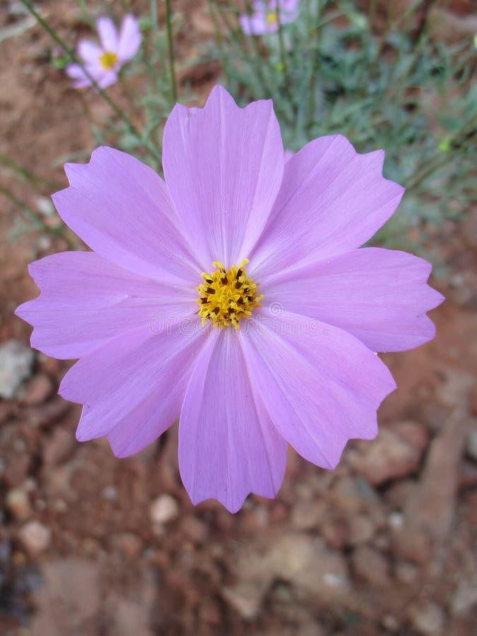Un fiore selvaggio immagine stock