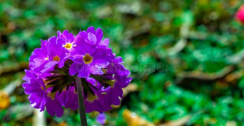 Un fiore selvaggio della montagna sulla collina pedemontana dell'Himalaya fotografia stock