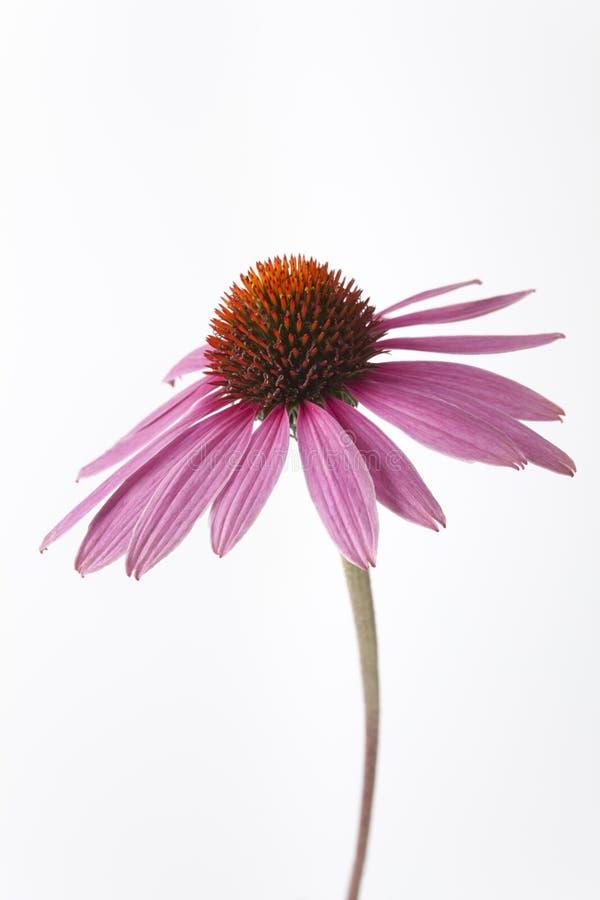 Un fiore viola del Echinacea su priorità bassa bianca immagine stock