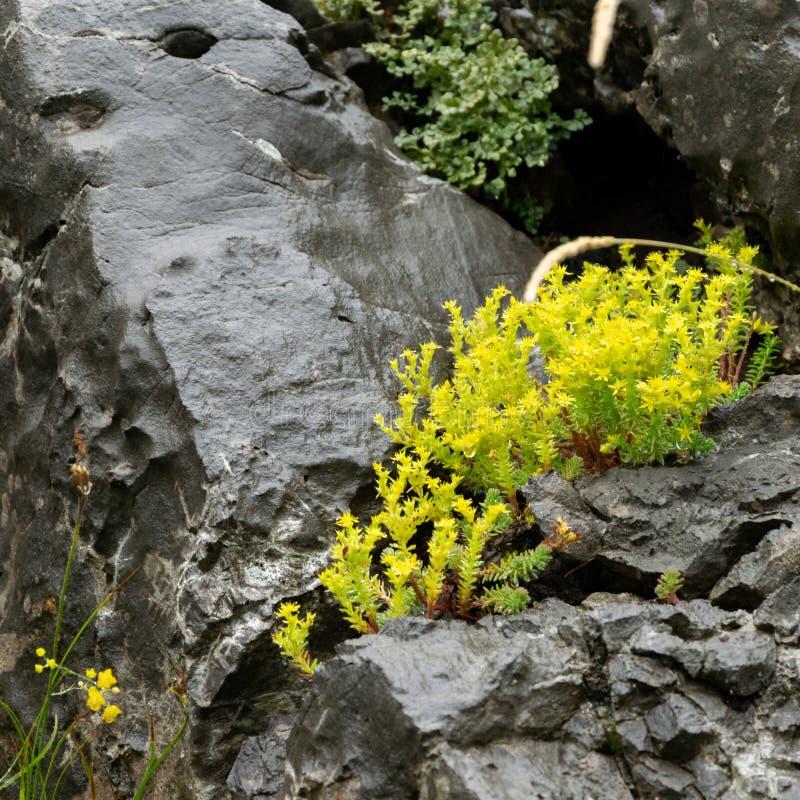 Un fiorellino giallo che cresce nella roccia Sopravvivere, la determinazione immagini stock