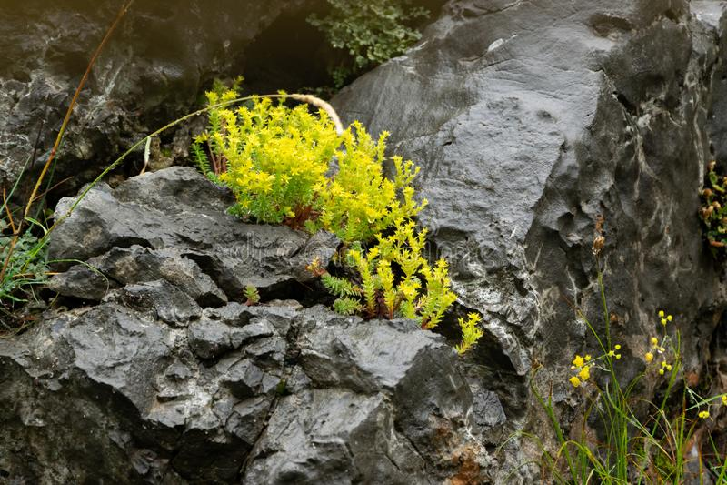 Un fiorellino giallo che cresce nella roccia Sopravvivere, la determinazione fotografia stock