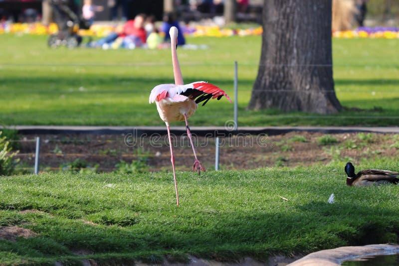 Un flamant dans le zoo en Allemagne photos libres de droits