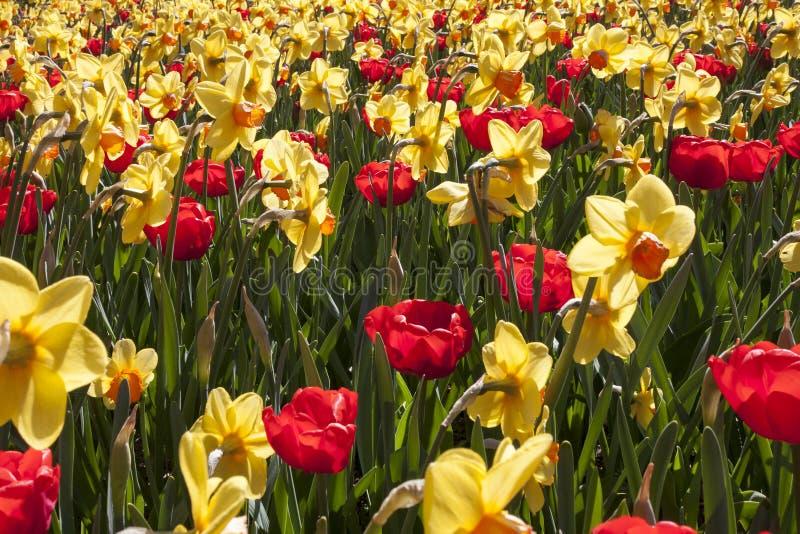Un florecimiento hermoso de los narcisos amarillos del narciso y de los tulipanes rojos en primavera imagen de archivo