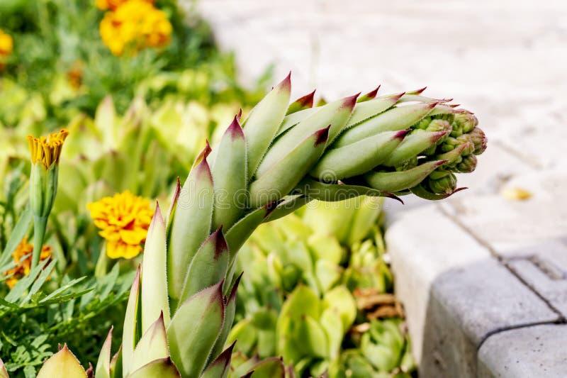 Un flover del molodilo o de una piedra subió en gente se llama col de las liebres Cactus suculento Una flor que parecer un pene fotografía de archivo