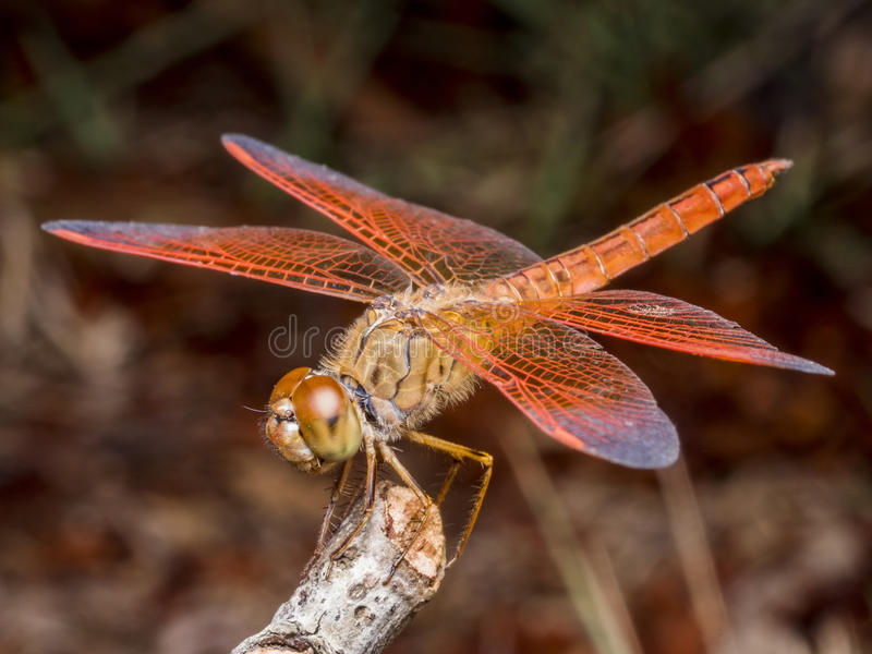 Un foco selectivo de la libélula roja macra en una rama seca imágenes de archivo libres de regalías