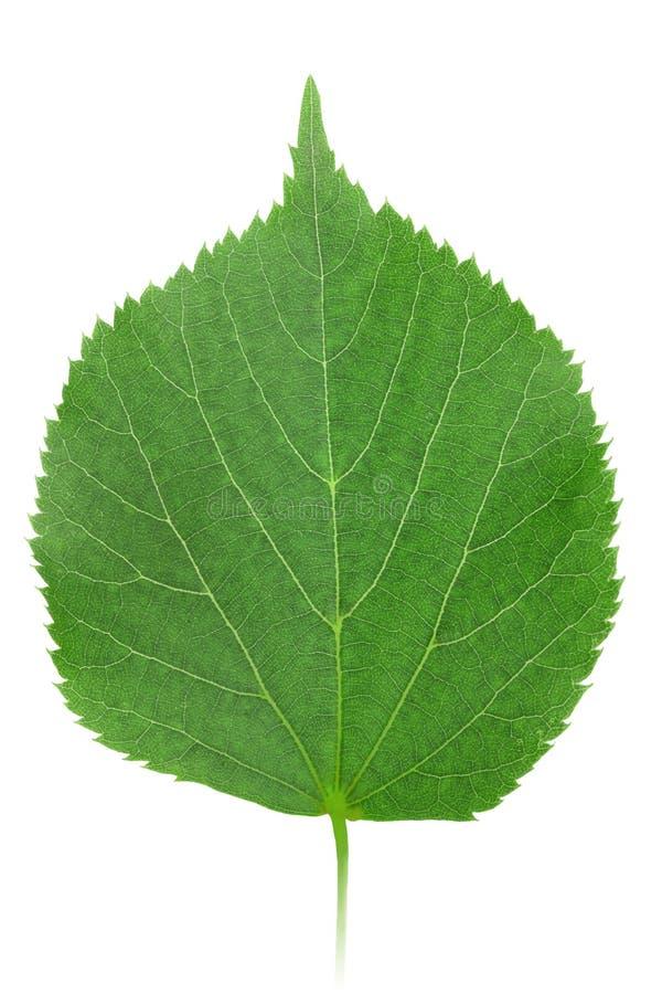 Un foglio verde dell'linden-albero fotografia stock libera da diritti