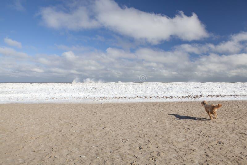 Un fonctionnement de Goldendoodle vers le lac Michigan congelé, Chicago photo libre de droits