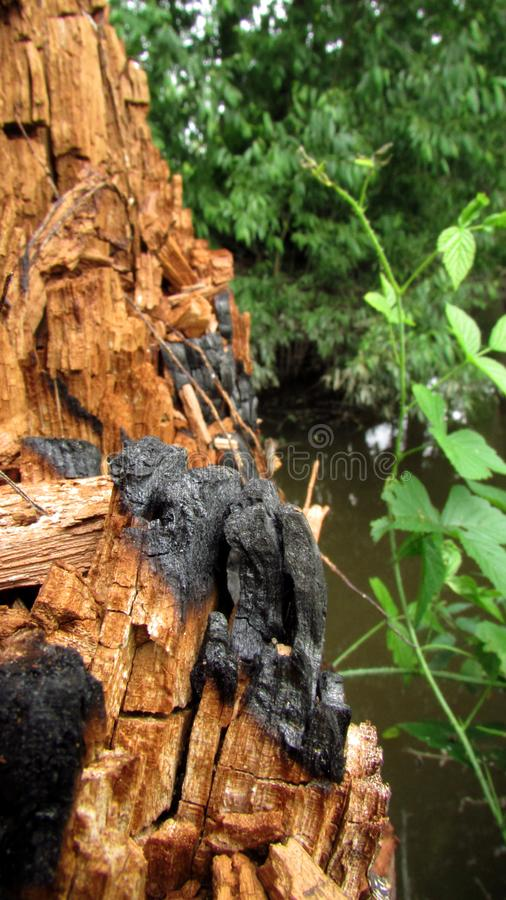 Un fond avec les nuances brunes et grises d'un vieux tronc d'un arbre qui a été endommagé par le feu et de nouvelles usines images libres de droits