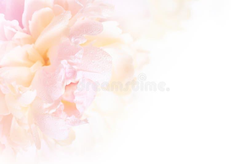 Un fond floral magnifique avec les pétales sensibles d'une pivoine de floraison image stock