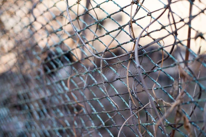 Un fondo del otoño con la liana de la enredadera de Virginia en la cerca oxidada vieja del jardín del metal imágenes de archivo libres de regalías