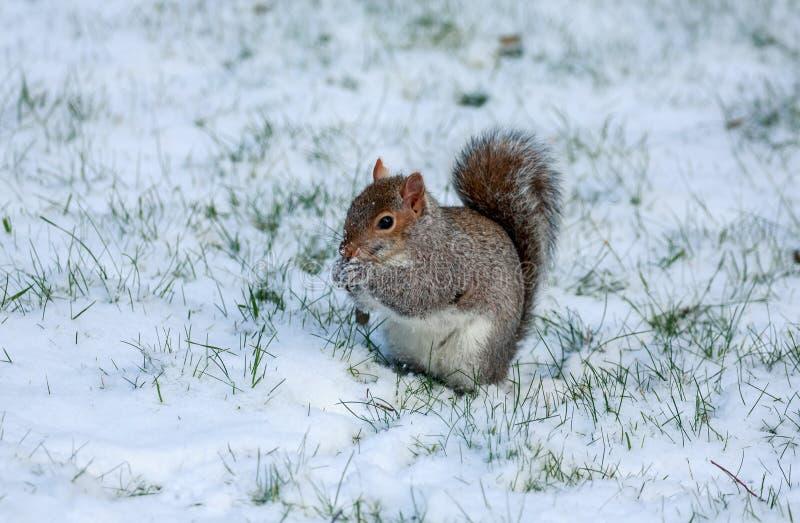 Un foraggiamento grigio dello scoiattolo nella neve fotografia stock