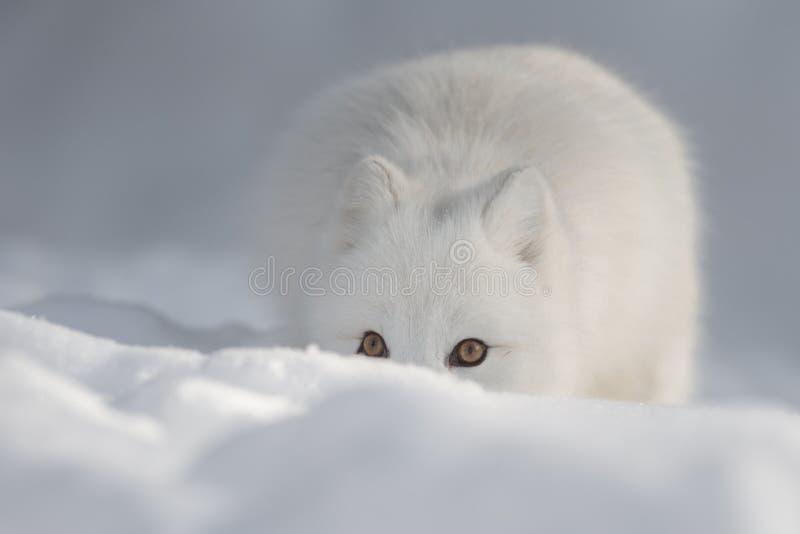 Un Fox arctique dans la neige regardant l'appareil-photo images stock
