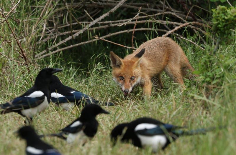 Un Fox rojo salvaje lindo Cub, vulpes del Vulpes, alimentando en la hierba larga en la entrada a su guarida Está siendo mirado po foto de archivo libre de regalías