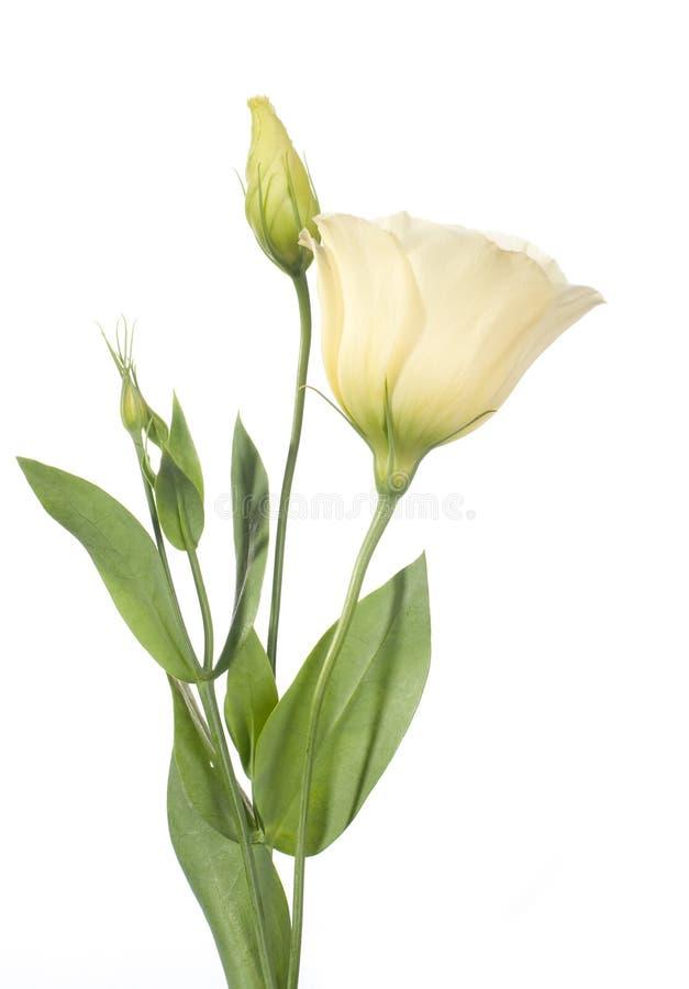 Un fragment des fleurs pâles d'isolement sur le blanc image stock