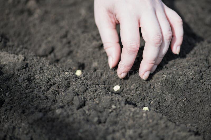 Un frammento della mano della donna di un agricoltore che pianta i semi di pisello in un solco in molla in anticipo nel campo Pia immagini stock libere da diritti
