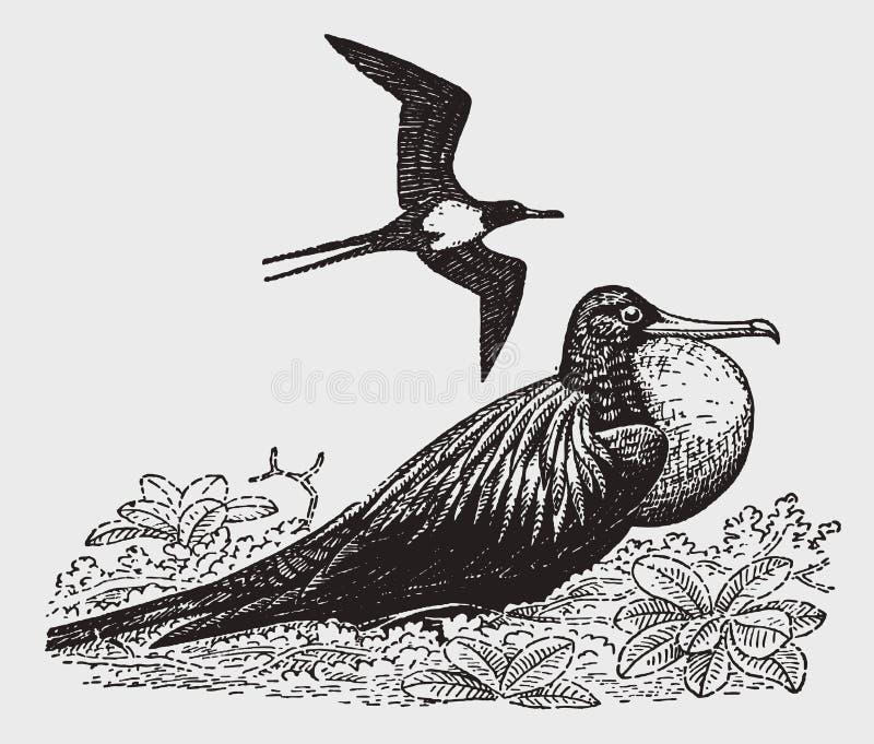 Un fregata dell'uccello di uomo-o-guerra o di frigatebird che gonfia il suo sacchetto della gola, altro sta volando sopra illustrazione di stock