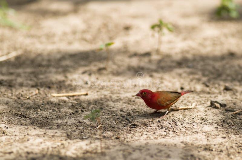 Un fringillide Rosso-fatturato maschio del fuoco immagine stock