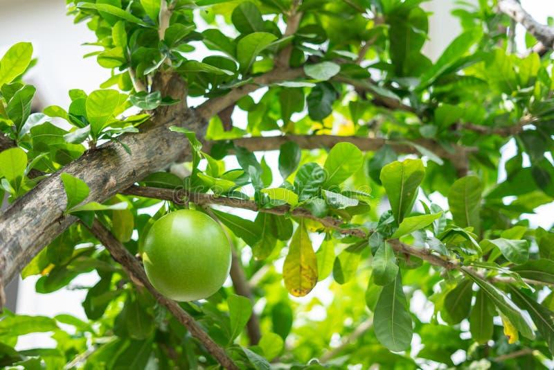 Un friut fresco verde del árbol de calabaza o del cujete del Crescentia, es especie de planta de florecimiento que sea nativa a l imágenes de archivo libres de regalías