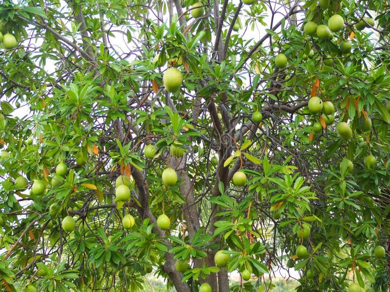 Un fruit rond cru de vert de groupe d'arbre de suicide photographie stock