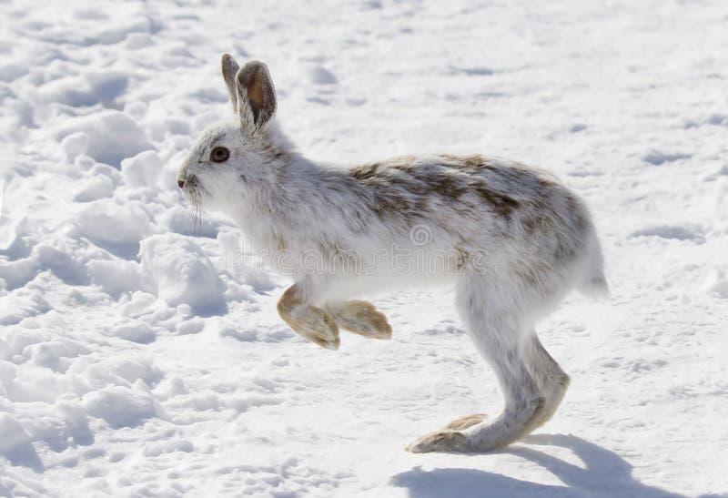 Un funcionamiento americanus del Lepus de las liebres de raqueta en la nieve del invierno en Canadá fotos de archivo libres de regalías