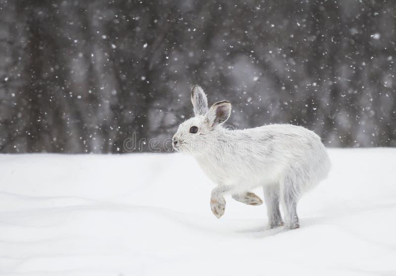 Un funcionamiento americanus del Lepus de las liebres de raqueta en la nieve que cae imagen de archivo libre de regalías