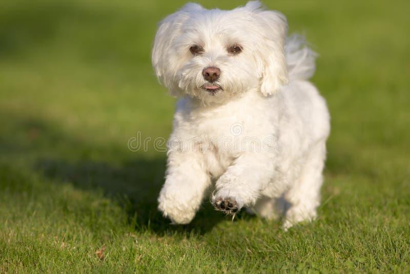 Un funzionamento del cane maltese nell'erba immagini stock libere da diritti