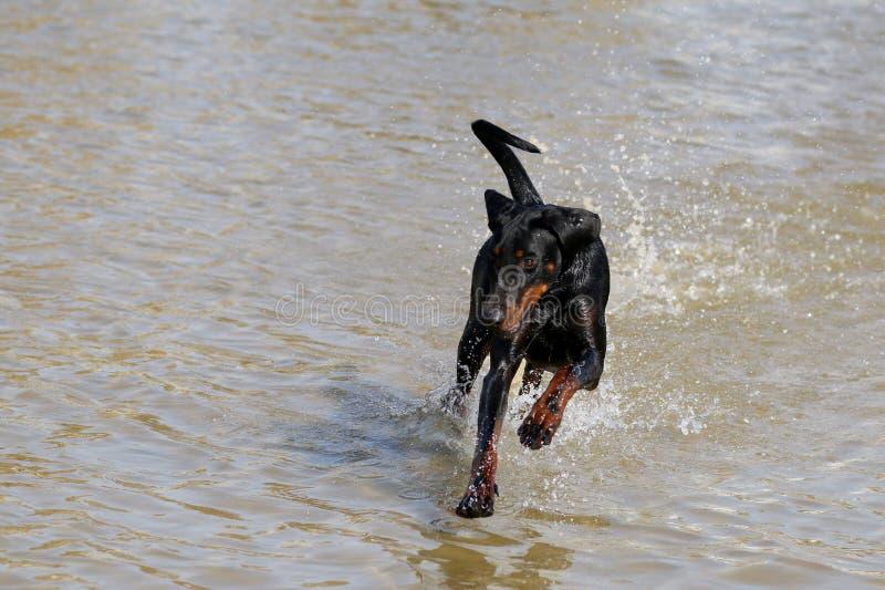 Un funzionamento del cane nel mare un giorno di estate caldo fotografie stock libere da diritti
