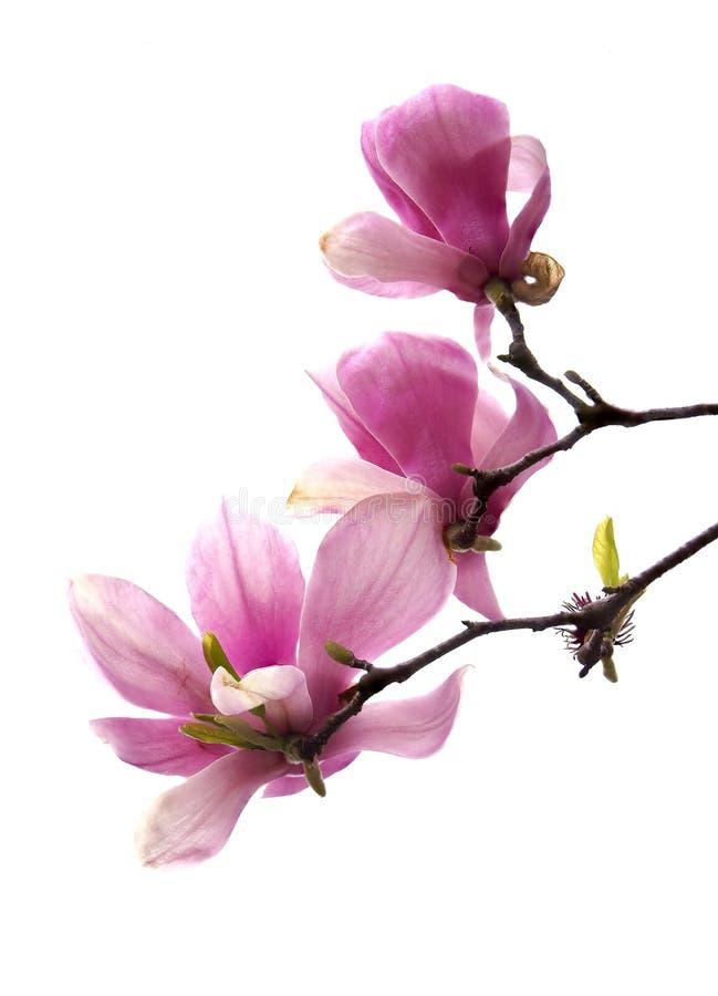 Un fuoco di tre primi piani ha picchettato Tulip Tree Blossoms Isolated su bianco immagine stock