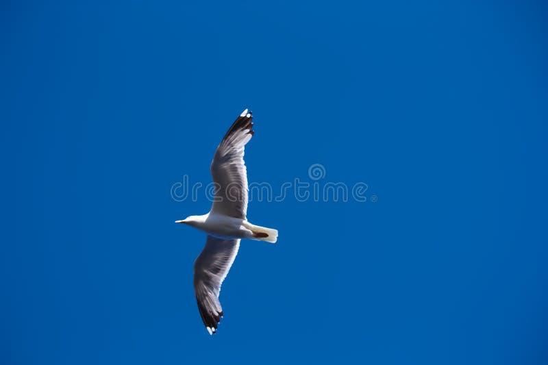 Un gabbiano ara il cielo blu fotografie stock libere da diritti