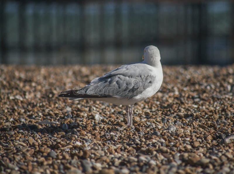 Un gabbiano che distoglie lo sguardo - spiaggia di Brighton immagini stock