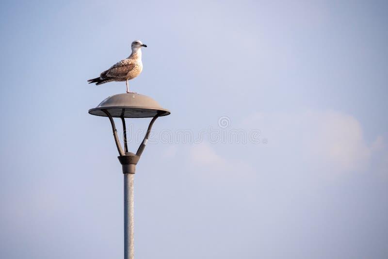 Un gabbiano che si siede su una lampada di via immagini stock libere da diritti