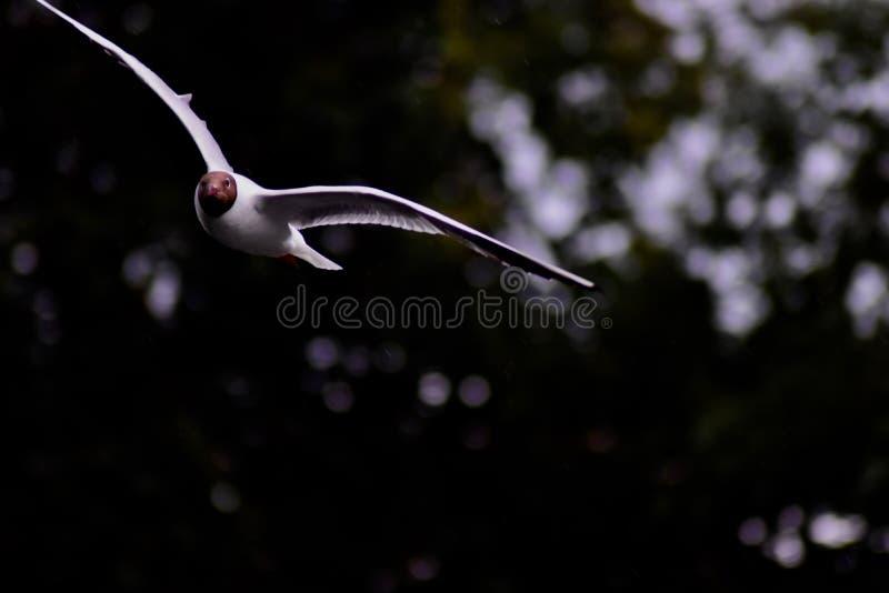 Un gabbiano comune in volo fotografia stock