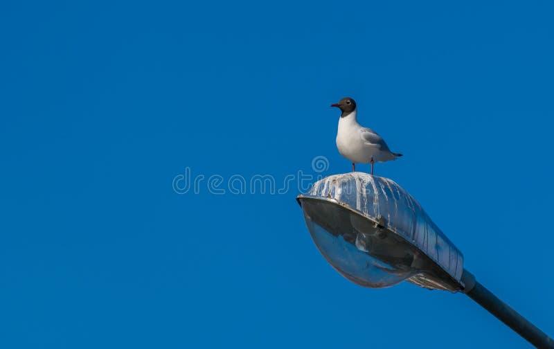 Un gabbiano di mare che si siede la lanterna fotografia stock