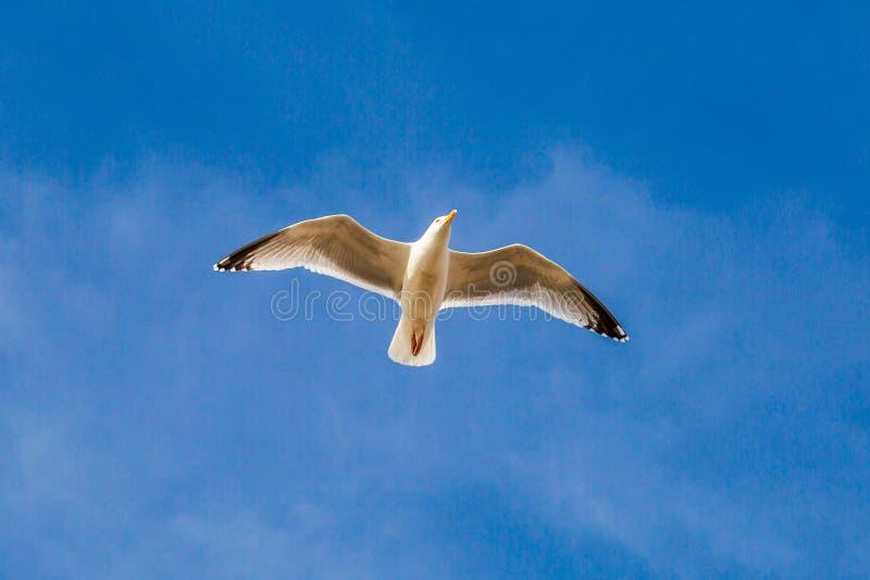 Un gabbiano durante il volo immagini stock libere da diritti