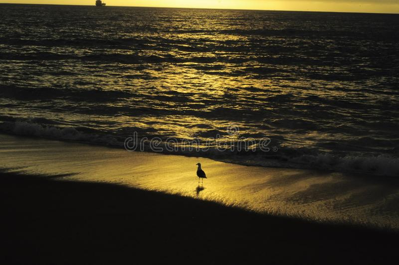 Un gabbiano e un bello tramonto in Viña Del Mar, Cile immagine stock