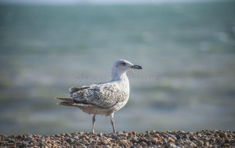 Un gabbiano ed il mare blu, Brighton immagini stock libere da diritti