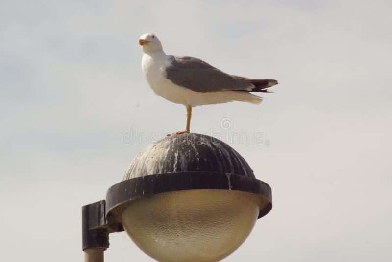 Un gabbiano ha messo alla cima di un palo della luce - vista frontale - il Portogallo fotografia stock libera da diritti
