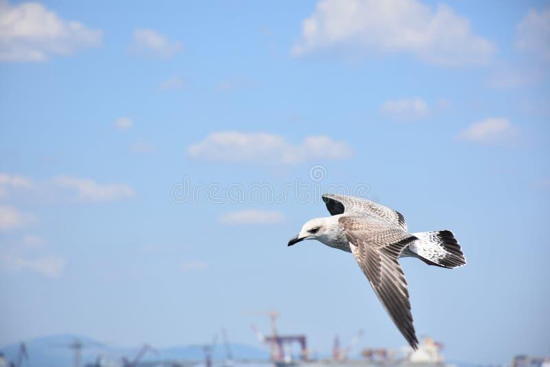 Un gabbiano, salente nel cielo fotografie stock libere da diritti