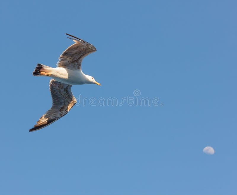 Un gabbiano sembra in volo colpire la luna fotografia stock libera da diritti