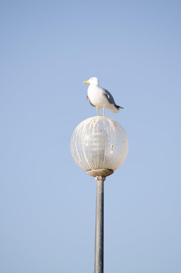 Un gabbiano si è appollaiato una lampada messa contro un cielo blu luminoso immagini stock libere da diritti