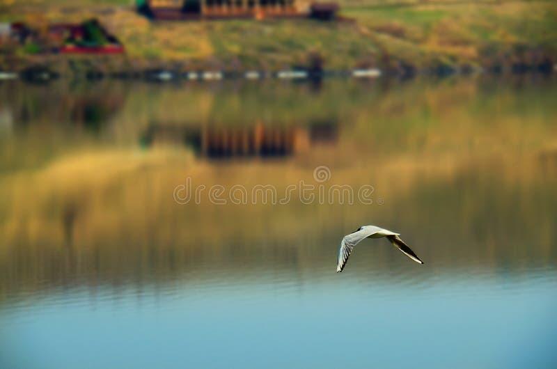 Un gabbiano sorvola il lago fotografia stock