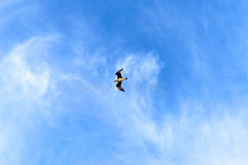 Un gabbiano sta volando nel cielo blu fotografie stock libere da diritti
