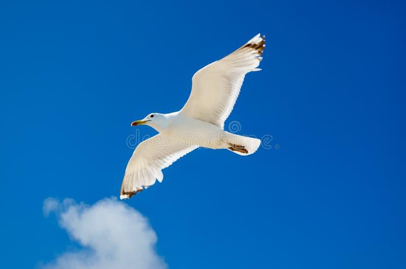 Un gabbiano sta volando nel cielo blu seabirds fotografie stock