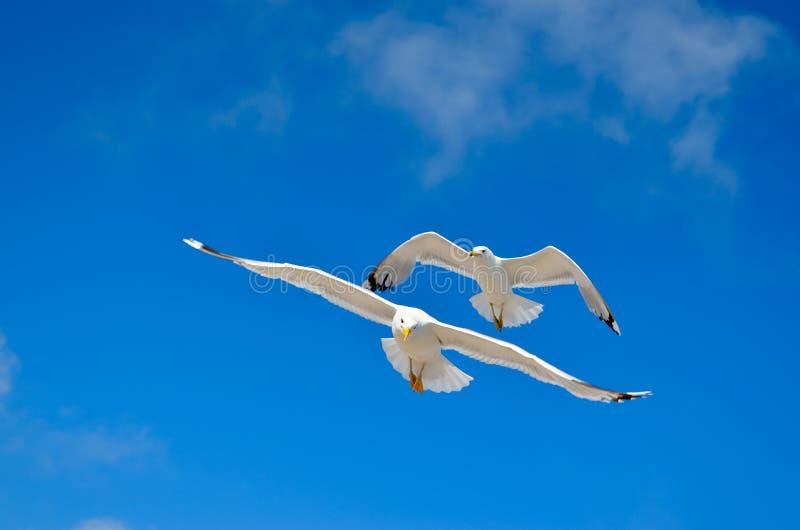 Un gabbiano sta volando nel cielo blu seabirds fotografia stock