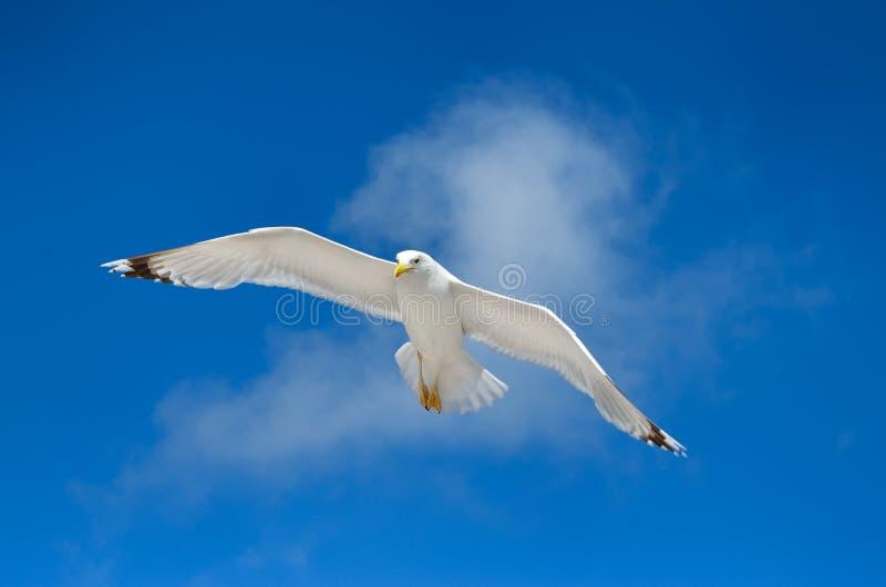 Un gabbiano sta volando nel cielo blu seabirds immagine stock libera da diritti