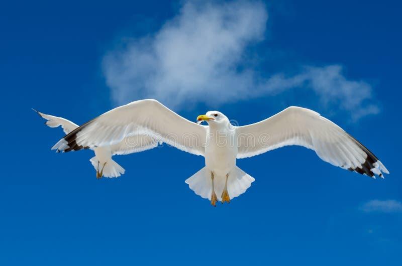 Un gabbiano sta volando nel cielo blu seabirds fotografie stock libere da diritti