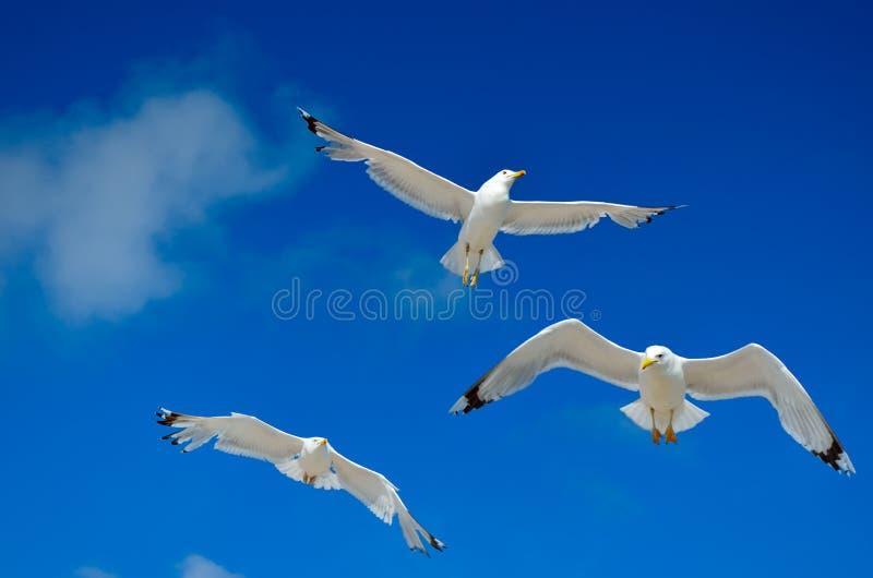 Un gabbiano sta volando nel cielo blu seabirds immagini stock