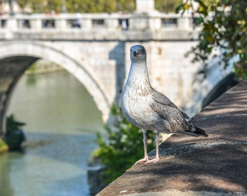 Un gabbiano sulla sponda del fiume a Roma, Italia fotografia stock
